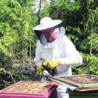 Sateet kohensivat odotuksia hunajasadosta