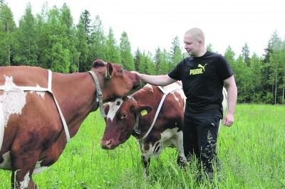 Denise-lehmän (vas.) pään alta kurkkiva Onnetar on Markku Poikelispään karjan kirkkaimpia tähtiä. Lehmämamma on tuottanut yli 130 000 kiloa maitoa ja poikinut kymmenen kertaa. Ammujien kelpaa nautiskella tilalla saamastaan hyvästä hoidosta.