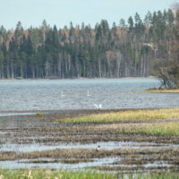 Ylöjärven Alhonlahdella ja Hirvijärvellä kartoitetaan pesimälintuja