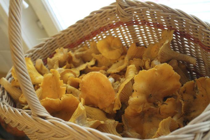 kantarelli, keltavahvero, sieni, sienestys
