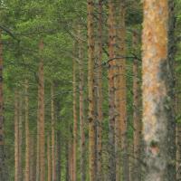 Metsähallitus lannoitti Pohjois-Kurun metsiä