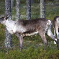 Metsäpeurat saapuvat Seitsemiseen viimeistään marraskuussa