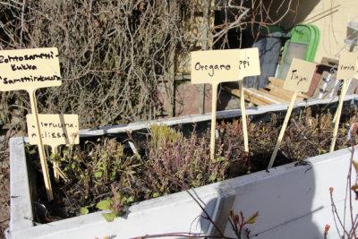 yrtit, kasvatus, puutarha, kuva: Iiria Lehtinen