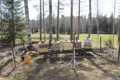 Veli-Mikko Leinonen, Hunaja-Mikko, hunaja, mehiläinen, karhu-aita,kuva: Iiria Lehtinen