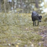 Koira jumittui Lempiäniemessä supikoiran luolaan