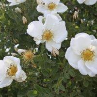 Tällainen on Ylöjärven 150-vuotisjuhlaruusu – Fröökynänruusu on sukua juhannusruusulle
