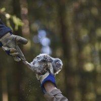 Rengastus on yksinkertaisinta kaverin kanssa, jolloin  toinen voi ojentaa poikaset puusta.