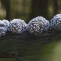 Nämä kuukauden ikäiset lehtopöllön poikaset asustavat Vahannassa.