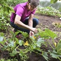 Kesäkurpitsa voi tarvita viljelijältään pölytysapua.