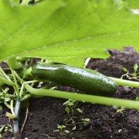 Pölytysapu on tuottanut tulosta, ja kesäkurpitsa on tuottanut jo hedelmää.
