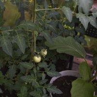 Myös kasvihuoneessa olevat tomaatit kypsyvät pian.