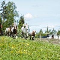 Voi tätä riemua! – Katso, miten islanninhevoset pääsivät pitkän talven jälkeen kirmaamaan laitumelle