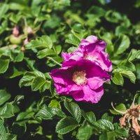 Kasvaako pihassasi kielletty kurtturuusu? Näin hävität valtoimenaan leviävän haittakasvin