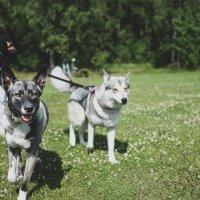 Luetuimmat jutut 2019: Jasmin ja Haisuli ovat koirasusia, joita osa pelkää – Ihastuttavat lemmikkihukat kuitenkin osoittavat, että ne ovat aivan tavallisia koiria, mutta paljon älykkäämpiä
