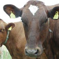 Majaniemen Irina ja Majaniemen Otava. Lehmät on tapana nimetä tilan nimen ja vuosittain määräytyvän alkukirjaimen avulla. Näin on helppo muistaa, minkä ikäisiä eri kirjaimilla alkavat naudat ovat.