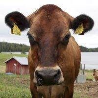 Jersey-lehmiä on Suomessa rekisteröitynä lypsykäyttöön reilut 800, mikä on puolisen prosenttia kaikista maamme lypsylehmistä. Suomen yleisin rotu on Ayrshire, joita on noin 50% kaikista lehmistä.