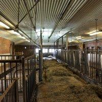 Kesäkaudella lehmät tulevat kahdesti päivässä sisälle lypsyä varten.