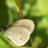 Nyt on hyvä aika perhosretkelle – Ylöjärveltäkin voit bongata tämän verkkaisen lepattelijan