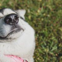 Mielipidekirjoitus: Koirasusi ei sovellu lemmikiksi