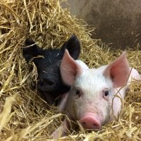 Mattila Bros muuttaa lihanjalostusalaa: Vapaat possut elävät tiloilla, joissa ne voivat toteuttaa lajilleen tyypillisiä asioita