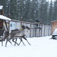 Vuonna 2017 tarhatut metsäpeurat päästettiin vapauteen gbs-lähettimineen – Nyt seurataan, jäävätkö eläimet Seitsemisen alueelle