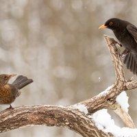Siilit heräilevät, sieniä pukkaa ulos maasta ja syysmuuton skipanneet mustarastaat viihtyvät lintulaudalla – Näin lämmin talvi on vaikuttanut