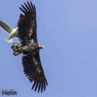 Lintujen kevätmuutto on käynnistynyt Pirkanmaalla – joutsenet sekä meri- ja maakotkat etujoukoissa