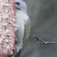 Harmaapäätikka hyötyy leudoista talvista ja tykkää lahovikaisista puista