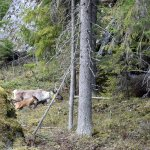 """Historiallinen tapahtuma: Seitsemiseen syntyi villi metsäpeura – """"vasa vaikutti oikein reippaalta"""""""