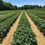 Kuivuus vaivaa pelloilla – sateet olisivat tervetulleita mansikoiden marjakoon kasvattamiseksi