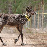 Metsäpeuroja vapautettiin jälleen lisää Seitsemiseen – Nyt kansallispuiston alueella elää jo 20 yksilöä, ja määrän toivotaan kasvavan