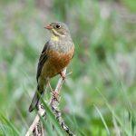 Vuoden lintu peltosirkku on äärimmäisen uhanalainen – pesimäkannasta on hävinnyt 99 prosenttia kolmessa vuosikymmenessä.