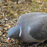 Sepelkyyhky voi pesiä pihapiirissä Ylöjärvelläkin – Usein pesä on niin hatara, että valkoiset munat paistavat pohjan läpi