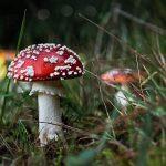 Eksyminen ei ole sienestäjän ainoa riski – joka vuosi hoidettavana on myrkyllisiä sieniä syöneitä sienestäjiä