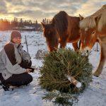 Näinkin voi joulukuusen kierrättää – Nämä hevoset saivat järsittäväkseen noin 70 kuusta