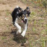 Koirien kiinnipitoaika päättyy huomenna – Kennelliitto muistuttaa, että koiran vapaana pitämiseen vaaditaan silti lupa maanomistajalta tai metsästysoikeuden haltijalta