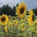 Kuntalaisaloite: Ylöjärvelle kaupungin kylvämä auringonkukkapelto – pellolta saisi mahdollisesti kerätä kukkia omaksi ilokseen