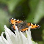 Päiväperhoset ovat nauttineet helteisestä kesästä – Vuosia lähes kadoksissa ollut nokkosperhonen on noussut runsaslukuisimmaksi